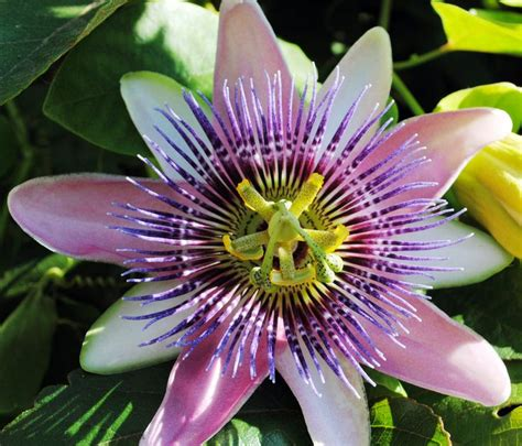 fruit flower purple passion fruit flower by fosspathei on deviantart