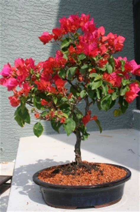 indoor bonsai kaufen flowering bougainvillea bonsai tree pink pixie