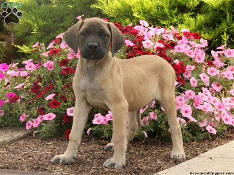 american bulldog mastiff mix puppies for sale mastiff mix puppies for sale greenfield puppies
