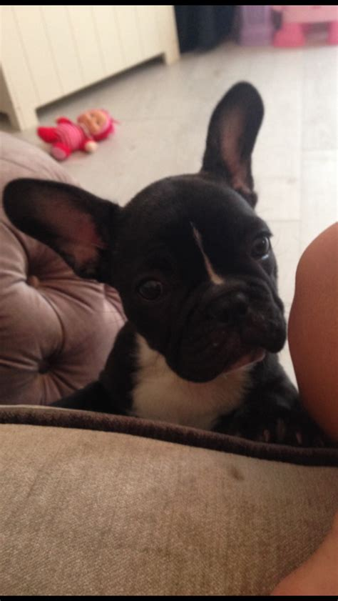 house trained dogs for sale uk house trained french bulldog for sale derby derbyshire pets4homes