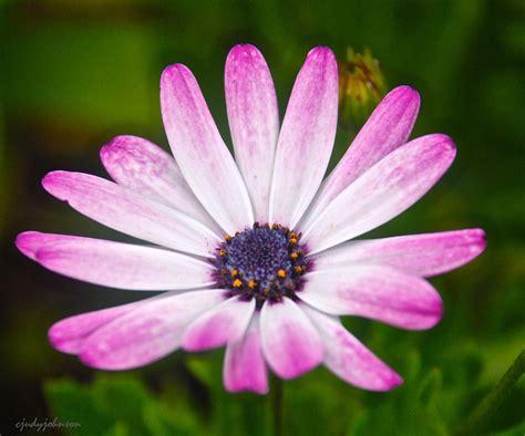 gerbera daisy jayjaysfavorites