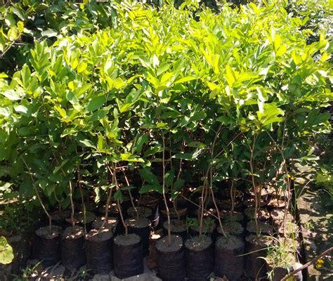 Jual Bibit Cengkeh Zanzibar Sukabumi jual bibit rambutan di sukabumi jual bibit tanaman unggul