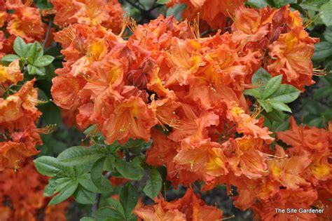 colorful foliage plants azalea gibraltar the site gardener