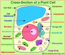Plant cell diagram with labels and functions