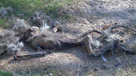 imagenes animales muertos fotos un zool 243 gico con animales muertos de hambre y sed