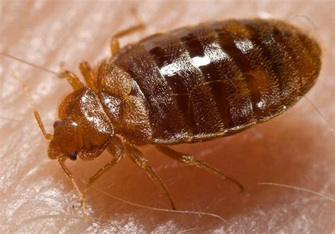 de bed bugs bed bugs bedwantsen wandluis cimex lectularius
