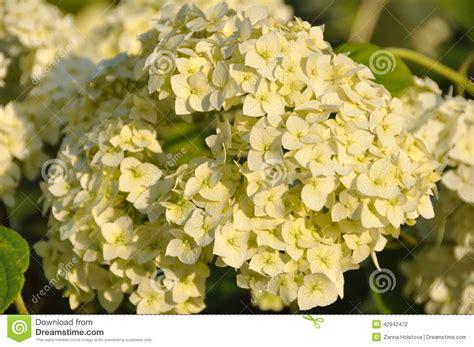 imagenes de hortencias blancas flor de la hortensia blanca hortensia foto de archivo