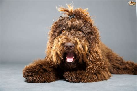 amazing dogs 7 amazing looking breeds of pets4homes