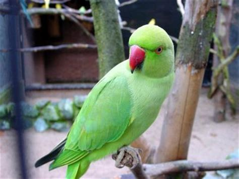 alimentazione parrocchetto dal collare parrocchetto dal collare uccelli allevamento accessori