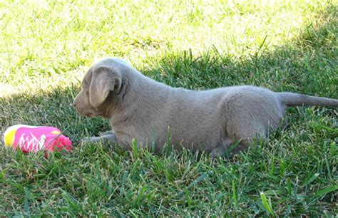 silver lab puppies for sale in alabama silver labrador retriever puppies for sale in kansas photo