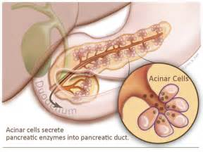 Acinar cells are the exocrine exo outward cells of the pancreas that