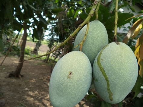 Mete Madu 1000 images about fruit trees on philippines jackfruit tree and guava fruit