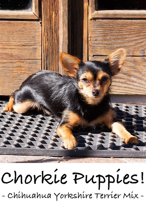 yorkie chihuahua mix grown the chorkie a chihuahua terrier mix breed puppy