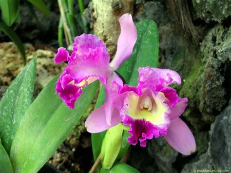 imagenes de rosas orquideas fotos de flores orquideas pagina 2
