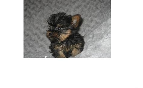 yorkie for sale in orlando beautiful yorkie puppies for sale in orlando florida classified americanlisted