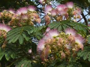 the mimosa tree complete guide the tree center