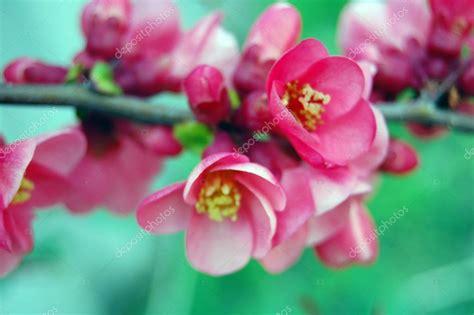 fotografie di fiori primaverili fiori primaverili rosa foto stock 169 re bekka 69809119