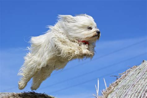 havanese org small dogs that don t shed american kennel club