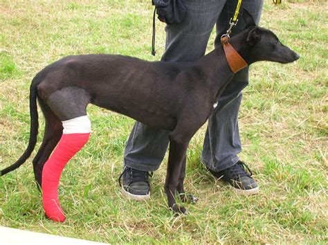 puppy broken leg how much does a broken leg cost howmuchisit org