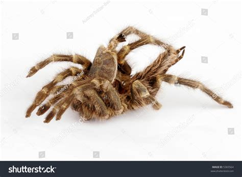 tarantula shed exoskeleton stock photo 5365564