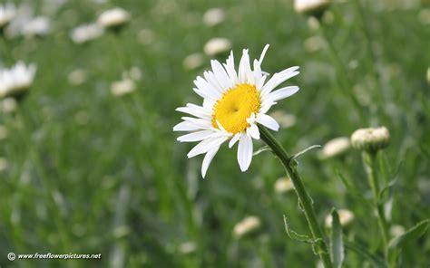 daisy flower shasta daisy pictures shasta daisy photos