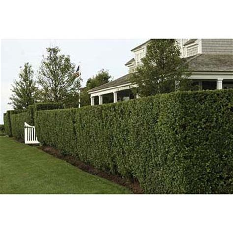 backyard shrubs privacy hedges privacy trees and cherries on pinterest