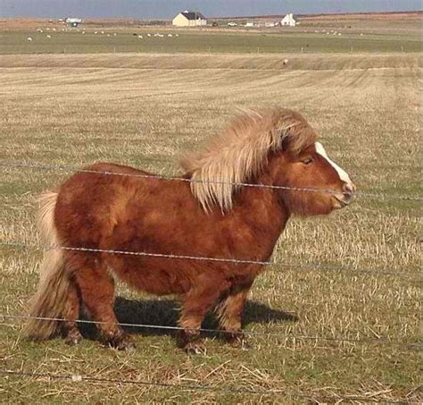 mini pony chunky shetland pony with a big ole belly mini