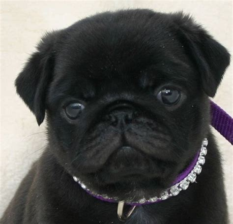 free black pug puppies 17 best ideas about black pug puppies on pug puppies baby puppies and