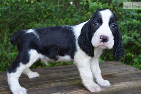 springer spaniel puppies sc springer spaniel puppy for sale near greenville upstate south carolina