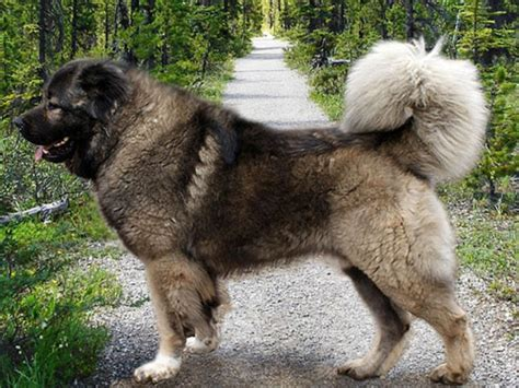 kaukasian dog with short hair pastor del c 225 ucaso razas de perros webanimales com