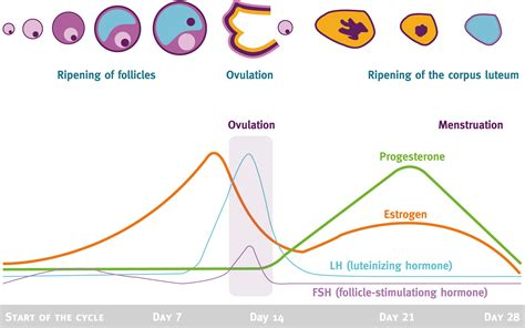 mood swings ovulation menstrual cycle hormones and their effects in different
