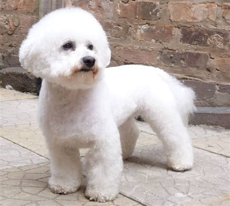 bichon puppy cut bichon frise summer cut breeds picture