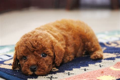 fluffy puppies breeds fluffy puppies breeds www pixshark images galleries with a bite