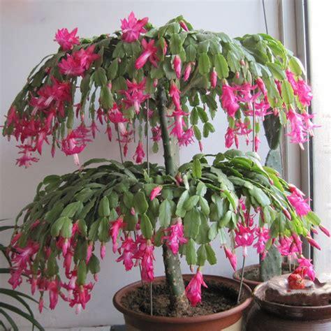 Tanaman Calanthoides Cactus Limited zygocactus truncatus schlumbergera seeds indoor potted plants flower green plants seeds 120 pcs