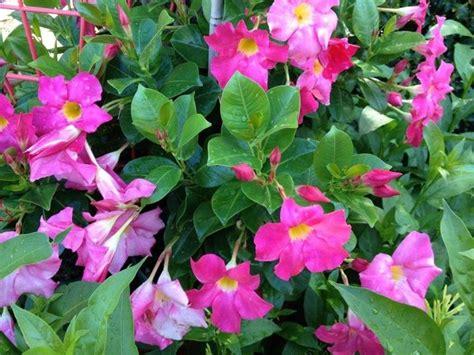 nomi piante da giardino piante da esterno sempreverdi piante da giardino