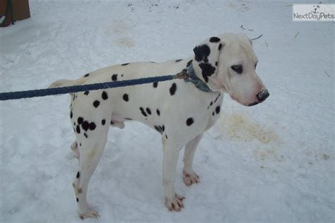 blue eyed dalmatian puppies for sale dogs and puppies for sale and adoption oodle marketplace