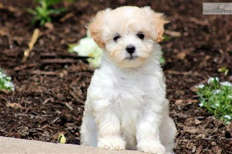 maltipoo puppies craigslist pin by cathy on lovable friends