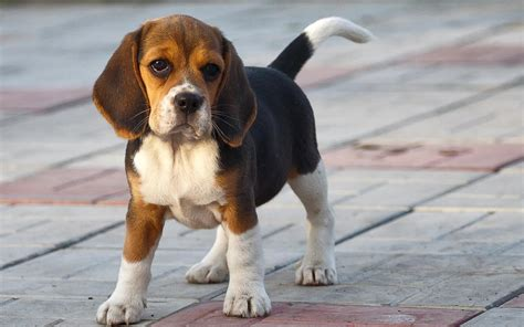 Beagle Breed 187 Information Pictures More