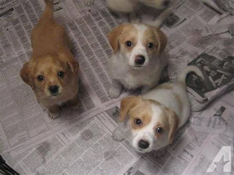 beagle puppies for sale in wv beagle puppies medium baby for sale in paw paw west virginia