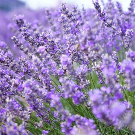 Fragrance Lavender lavender fragrance