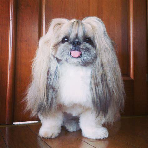 panda chin puppy haircuts dog hairstyles life style by modernstork com
