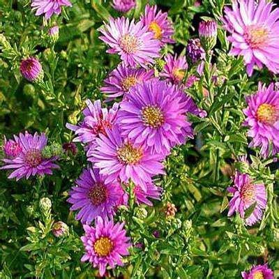 Set Kulot Aster Pink Atasan Pink 1 flowering perennial perennials garden plants flowers the home depot