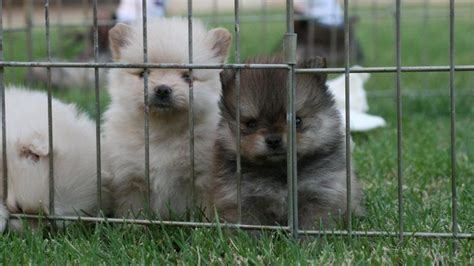 how many puppies are in an average litter how many puppies do pomeranians in a litter reference