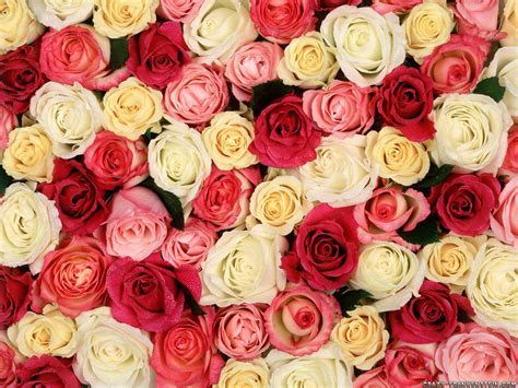 background design rose 29 roses backgrounds wallpapers images pictures