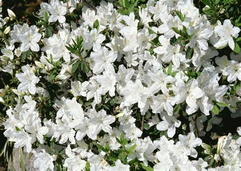 flowers photo tiny white flowers in bloom light 10 best shrubs with white flowers