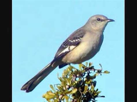 Www Southern | southern mockingbird 2010 midnight youtube