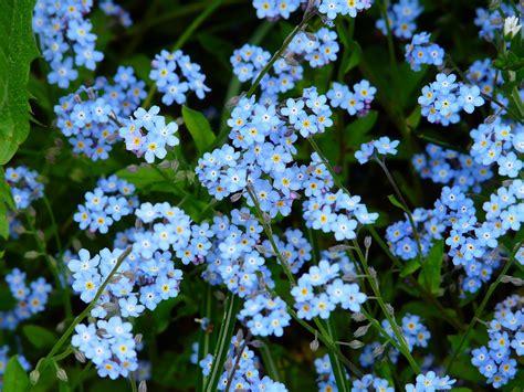 forget   flower meadow wild  photo  pixabay