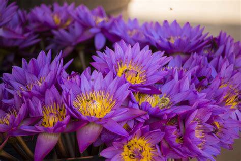 national flower  sri lanka nil manel blue lotus