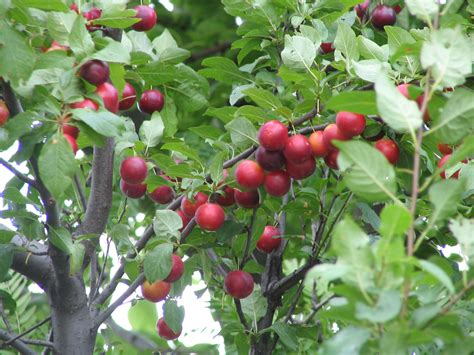 fruit trees what of fruit tree fruit is this fruits ask