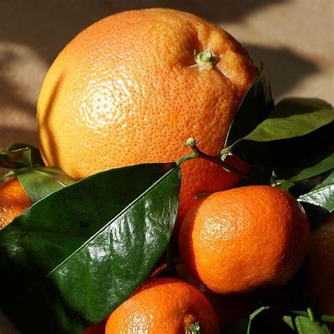 limoni in vaso coltivazione coltivazione agrumi in vaso